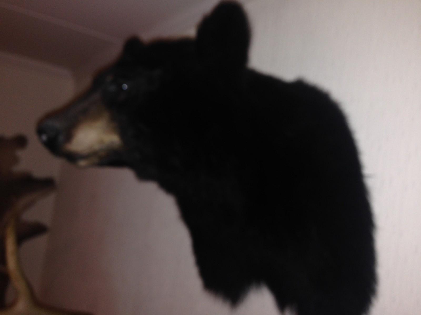 Svartbjørn hode - Drøbak  - Flott Skuldermontert hode av svartbjørn fra Canada - Drøbak