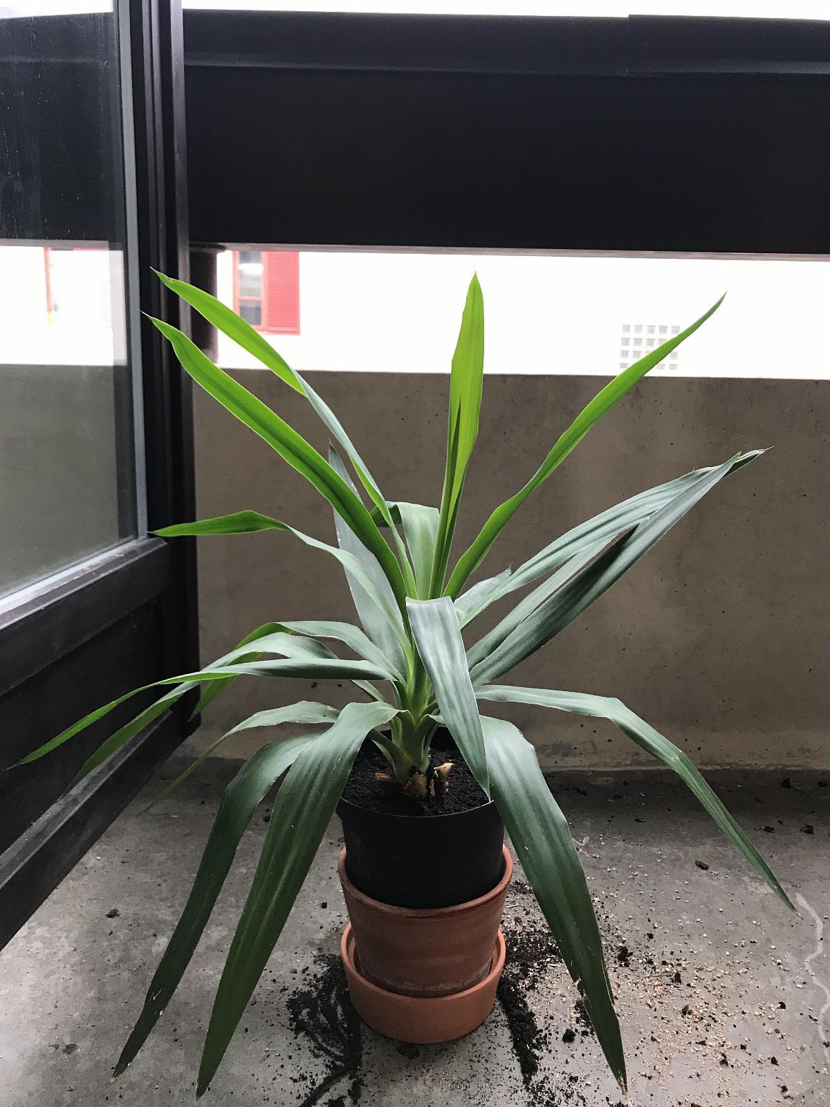 Plante - Oslo  - Selger min fine plante til et hjem som kan passe på den videre. Hatt den i 1 år, men har ikke nok plass i vinduskarmen lengre. :)   Selges uten potte-skjuler. :) Den var i denne terracotta potten før, men jeg plantet den om i en plast-potte så - Oslo