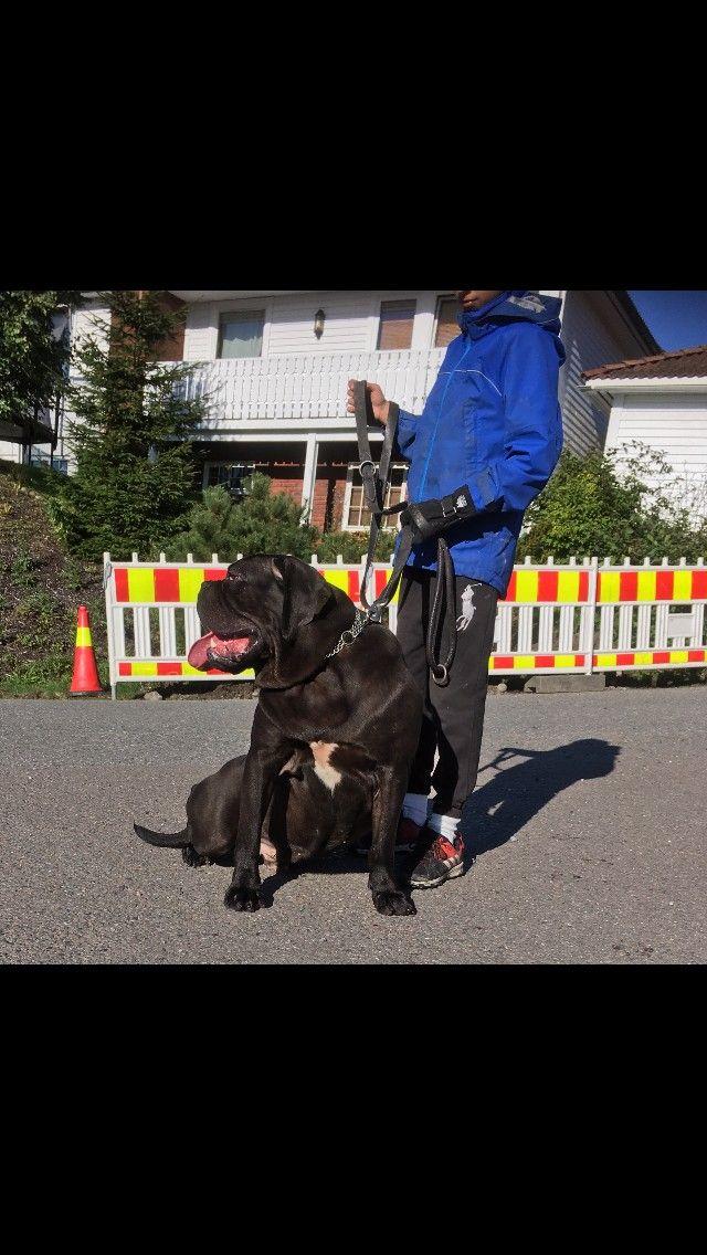 Cane Corso  8000 Kr - Oslo  - Cane Corso gutt på 14 måneder selges som familie hund .hunden er vantil barn og Andre hunder hunden selges med alle papirer for mer info ring 92664275 bare seriøse henvendelser - Oslo