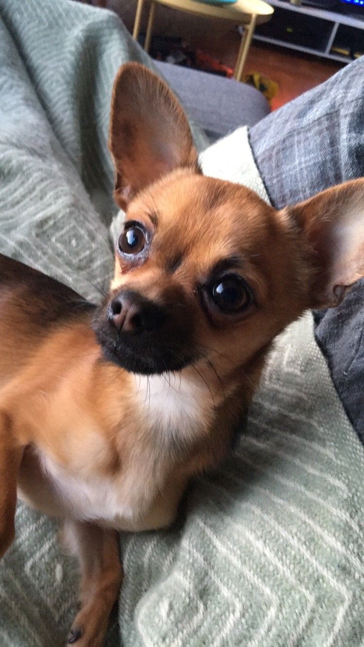 chihuahua parring